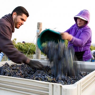 Harvest at Estate Seven Hills Vineyard.