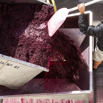 Close-up view of grapes being moved into the press