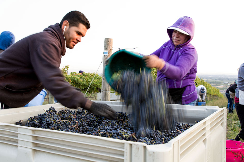 Harvest at our Estate Ferguson Vineyard