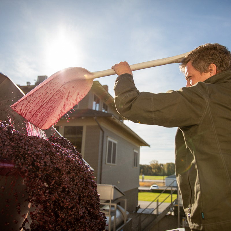 Pressing Red Grapes