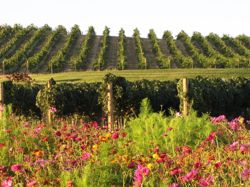 Wildflowers in the Vineyard